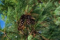 Yay pinecones